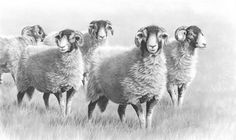 Sheep  pencil drawing / Artist: Nolon Stacey