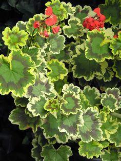 variegated geranium leaf - Google Search