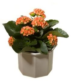 Kalanchoe Care- If you are growing a kalanchoe as a houseplant it will need bright light for eight to ten hours a day. It should be potted in a light, well-draining potting soil that is about 50 percent perlite. Water only when dry.