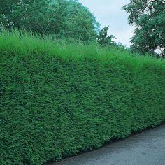 Hedges fast growing and costco on pinterest for Fast growing drought tolerant trees
