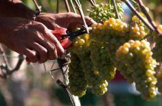 De los viñedos de Uruguay.