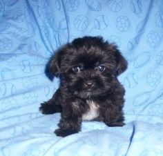 Shih-Tzu – Yorkie Mix puppy