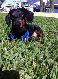 Dachshund sitting in grass