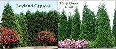 Leyland Cypress vs Thuja Green Giant...choose the best one for your climate and landscape.