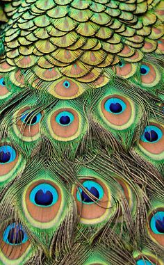 ♥♥♥ Peacock Feathers  ♥♥♥