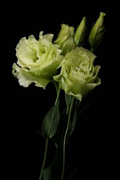 Green lisianthus flowers by TimHarris, via Flickr