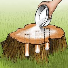 Tree Stump removal using rock and/or epsom salt. Rock salt dries out the wood, Epsom salt kills the tree by pulling moisture from the wood. The advantage of Epsom salt is that it will also improve the soil by adding sulfur and magnesium making it easy for you to replant.
