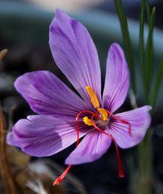 Crocus sativus - source of saffron.