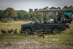 Chitabe's wild dogs are completely at home with the vehicles that makes for an amazing experience with this endangered species
