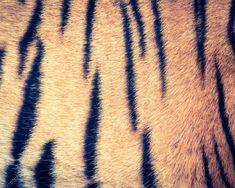 Tiger fur texture - retro vintage filter effect Tiger Fur, Graphic Design Portfolio Examples, Vintage Filters, Birds In Flight, Animal Print Rug, Retro Vintage, Stock Photos, Texture, Image