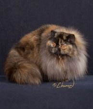 Click to learn about the history, personality, common traits and health issues for the Persian cat. (Photo courtesy of TICA)