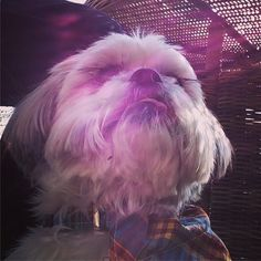 Lush afternoon yesterday including sitting on the terrace in the sunshine at @wynyardgolfclub  #alfietheangryshihtzu #dogblog #chillingout #shihtzusofinstagram #shihtzugram