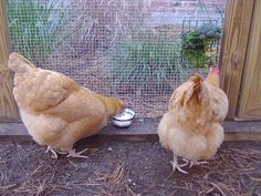 Chicken Treat Chart   The Best Treats For Backyard Chickens | BackYard Chickens