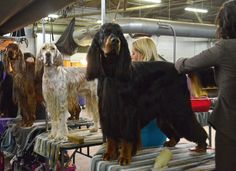 Irish, English, and Gordon Setter. Westminster Kennel Club Dog Show 2014. 02/11/14.