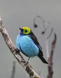 paradise tanager - Google Search