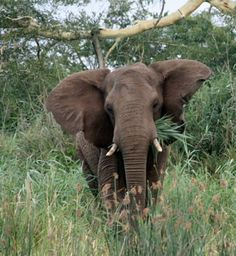 Elephant In Thick Bush, Phinda Game Reserve