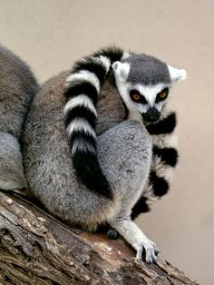 We are very excited for these little guys to arrive! Ring-tailed Lemur