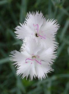 Dianthus japonicus Flower Pair