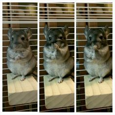 Adorable chinchilla wiping their nose, frame by frame.