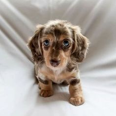 Exceptional pretty dogs info are offered on our internet site. Baby Animals Super Cute, Super Cute Puppies, Cute Little Animals, Cute Dogs And Puppies, Cute Funny Animals, Baby Dogs, Cute Dogs Breeds, Dapple Dachshund Puppy, Dachshund Puppies