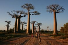 Avenue of the Baobabs - Madagascar