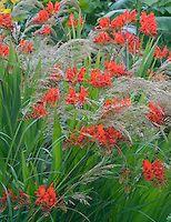 Crocosmia Lucifer with Stipa calamagrostis grass in garden | Plant & Flower Stock Photography: GardenPhotos.com