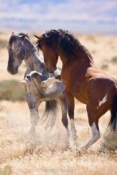 photo by Mark Terrell, Wild Horses of Nevada Photography by HARVEST