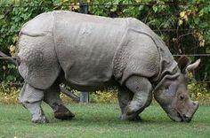 Rare animal: Javan Rhino