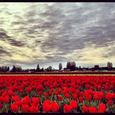 Tulips everywhere in the Skagit Valley!