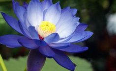 More Effective Than Painkillers, This Relieves Muscle Spasms, Migraines Tinnitus and More - Blue lotus (nymphaea caerulea), also known as the Egyptian water lily, is a flowering water-lily native to Egypt but may be found growing in other parts of the world. The Blue Lotus flower is used as an aid for many ailments as well as for recreational purposes. Blue Lotus is reportedly used to relieve pain, …