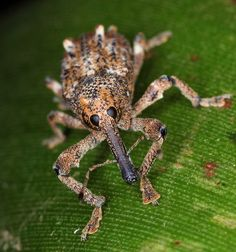 Elephant Weevil (Orthorhinus cylindrirostris)