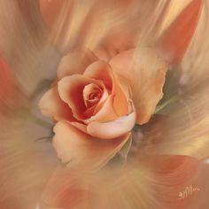 Raindrops and Roses Peach Love, Peach And Green, Peach Blush, Just Peachy, Love Rose, Peach Trees, Peach Flowers, Peach Colors, Beautiful Flowers