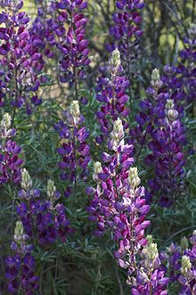 california native - lupinus albifrons, white-leaf bush lupine. Perennial. 2ft x 5ft.