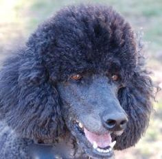 ANGUS is an adoptable Standard Poodle Dog in Somerville, MA. Size: Standard Age: 4 1/2 Years Old Gender: Male Meet Angus! Angus is a fabulous boy. He was very much loved by his owner and was given up ...