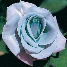 ^^Blue Girl Hybrid Tea Rose  Fully double flowers with 35 to 40 petals & mdash; all a rare shade of lavender-blue. Just 2-3 ft. tall. Selection Tip: All climbers and hybrid teas are 2-year plants. No. 1 to 1 1/2 grade. Zones: 4 - 10 (-20 F.). Height: 2' - 3'. Shade Requirement: Full sun. - See more at: http://www.gurneys.com/product/blue_girl_hybrid_tea_rose_#sthash.GtVsYy4s.dpuf