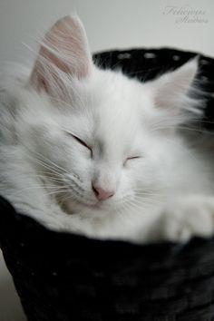 sleepy white norwegian forest cat in basket