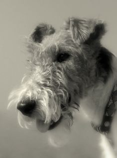 A very fine example of Wire Fox Terrier. Fox Terriers, Perro Fox Terrier, Wirehaired Fox Terrier, Welsh Terrier, Wire Fox Terrier, Airedale Terrier, Pet Dogs, Dogs And Puppies, Dog Cat