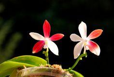 Phalaenopsis tetraspis - Flickr - Photo Sharing!