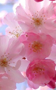 Pink cherry blossoms #belledujour
