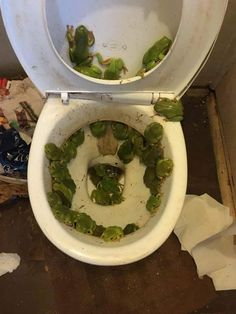 Des toilettes envahies par les grenouilles après des inondations