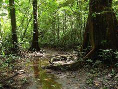 Lowland rainforest near Sirena