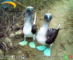 Tour Isla de la Plata Machalilla Ecuador En la isla de la Plata tenemos mucha variedad de aves te llevamos a conocerlas en nuestro tour a la Isla de la Plata, observando la biodiversidad de flora y fauna.