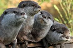 Otters are carnivorous mammals in the subfamily Lutrinae. The 13 extant otter species are all semiaquatic, aquatic or marine, . Nature Animals, Animals And Pets, Baby Animals, Funny Animals, Cute Animals, Baby Giraffes, Wild Animals, Otters Cute, Baby Otters