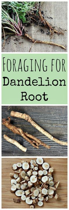 Dandelion root is an easy herb to forage for, and is both edible and medicinal!