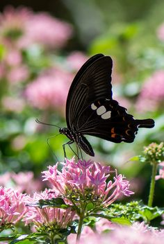 Simply Stunning Papilio helenus Butterfly!