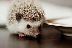 yay hedgehog!