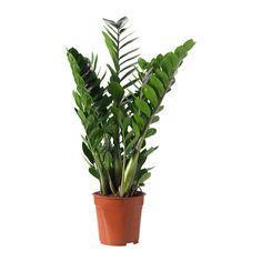 IKEA - ZAMIOCULCAS, Pflanze