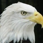 On Saturday, January 25th, 2001, someone found an injured nestling Bald Eagle in the Prairie Creek section of Port Charlotte. Previous to this date, he had been watching two Eagles near his friends home in Prairie Creek. At 5:00 p.m. on Saturday, January 27th, he noticed two Eagles circling the area over their nest. He investigated and found that the old tree where the nest was situated had fallen. Read more -> http://peaceriverwildlifecenter.org/adopt-bilfred/