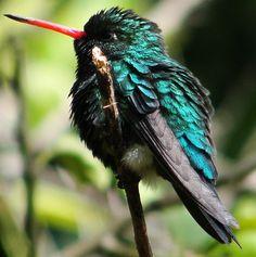 Besourinho-de-bico-vermelho --{ Birds }--