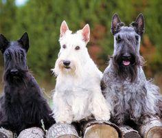 scottish terrier | El Scottish Terrier ( Terrier Escocés) | Razas de Perros | Aperrados ...